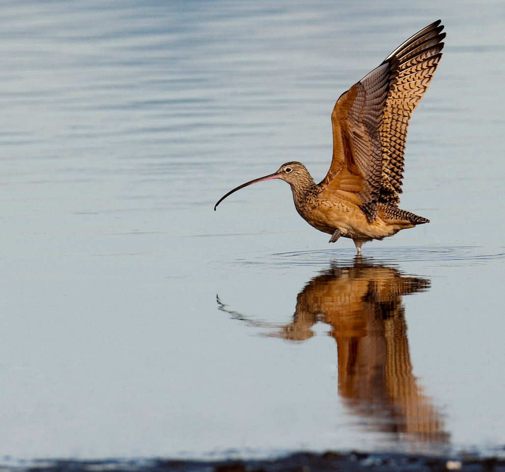 Long Billed Curlew prepares to fly away, Boundary Bay, BC