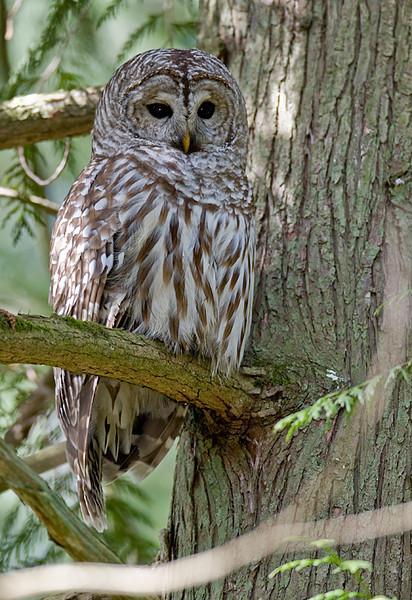 Barred Owl, Richmond, BC
