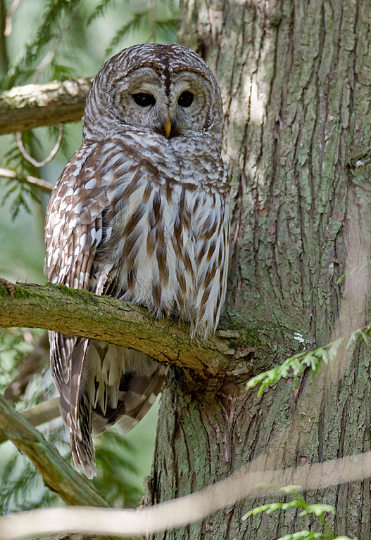 Barred Owl, Richmond, BC