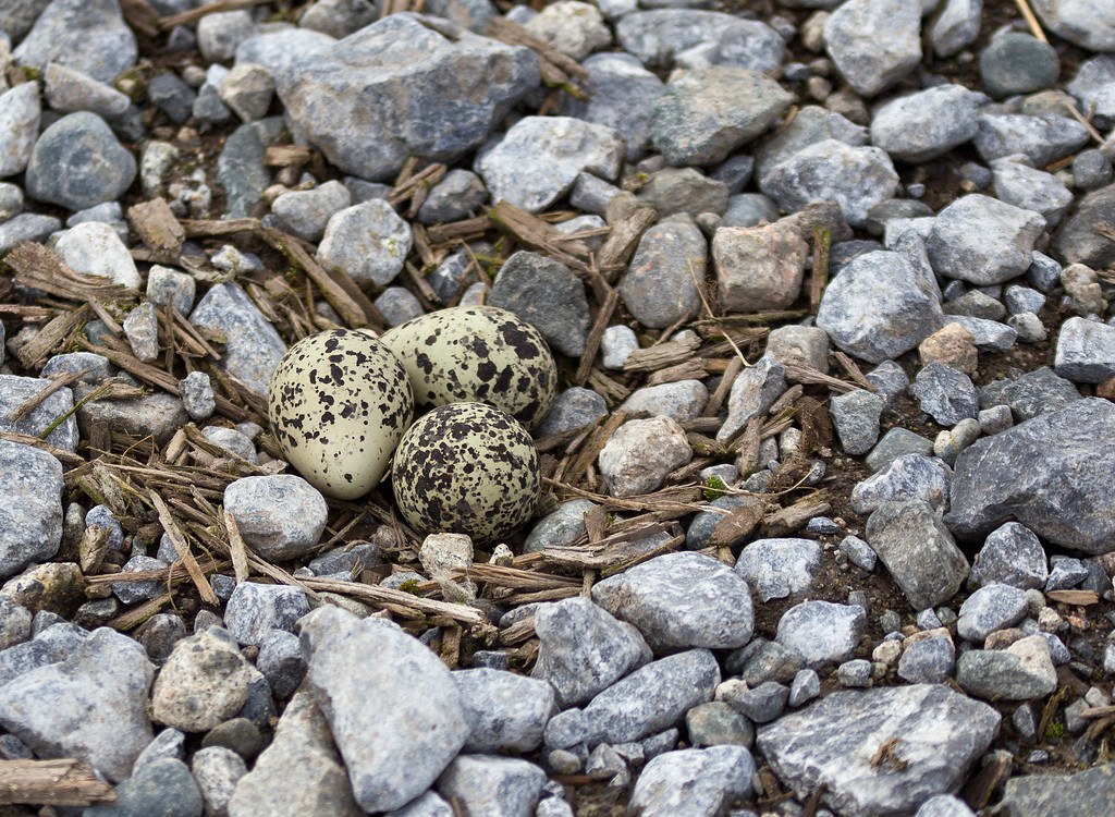 Killdeer Nest - minimal construction required!