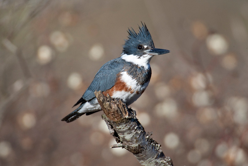Belted Kingfisher ( female )-5F9548-1600