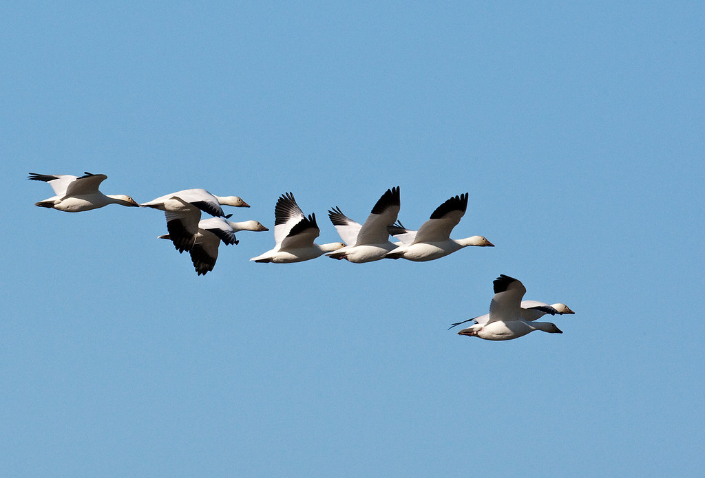 Small group of Snow Geese flying to their night nestyingh grounds in the Foreshore of the Pacific Ocean at Richmond. BC