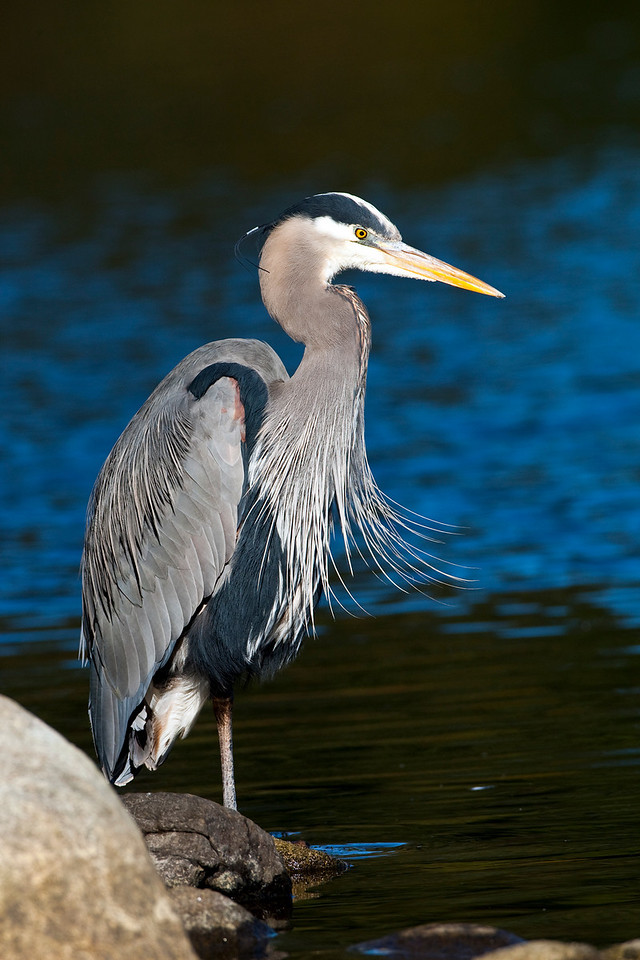 Great Blue Heron on one foot - Lost Lagoon, Vancouver BC