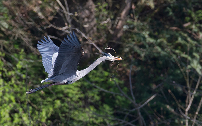 A Great Blue Heron brings a courtship branch to his mate at the Tsawwassen BC Heronry. There are about 300 mating peairs there this year,so sitting on eggs. March 29th, 2013