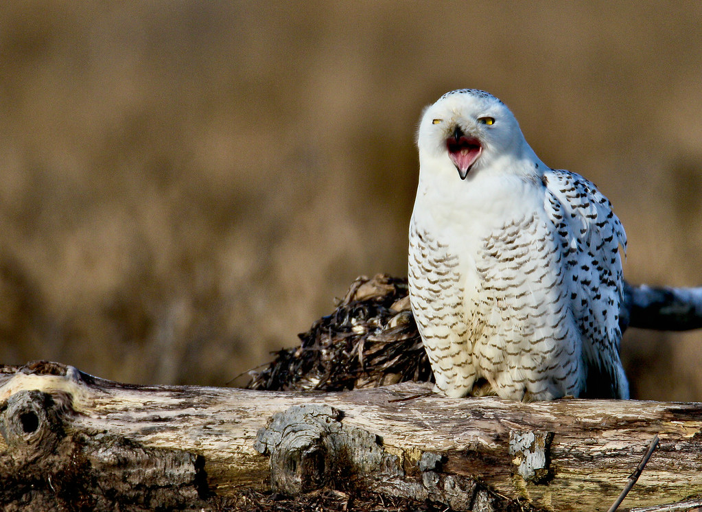A Snowy Owl appears to be laughing at the photographers taking it's image