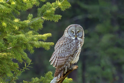 Great Grey Owl, Male