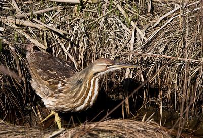 American Billtern - Found at the Reifel Bird Sanctuary, Ladner, BC