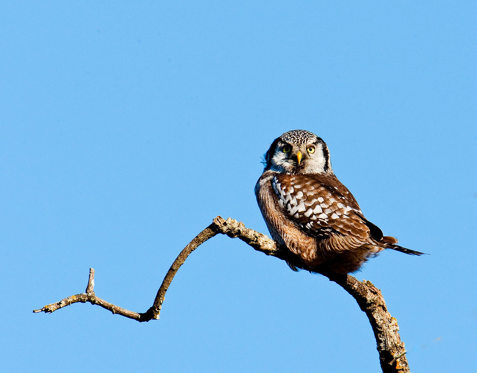 Northern Hawk Owl - Vancouver Island, BC