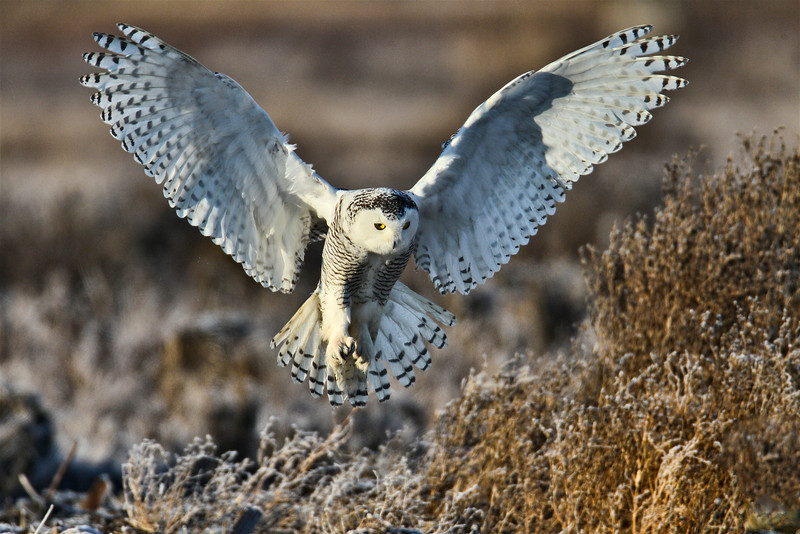 A Snowy Owl coming in for a landing at Boundary Bay, BC