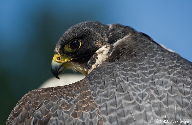 Peregrine Falcon, Vancouver BC