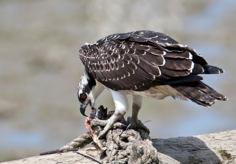 Juvenile Osprey enjoying dinner