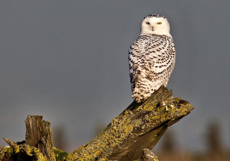 Snowy Owl - Boundary Bay, BC.