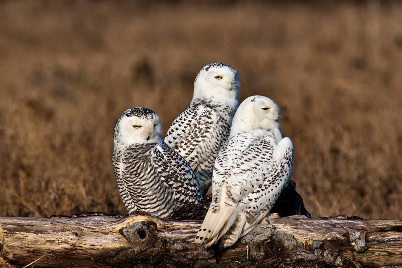 Three Snowy Owls find a nice place to rest and socialize for the day. As you can tell by their mostly closed eyes, they were content to drift in and out of sleep. Taken with a Canon 1D Mk !V, a 600mm prime lens and a doubler.