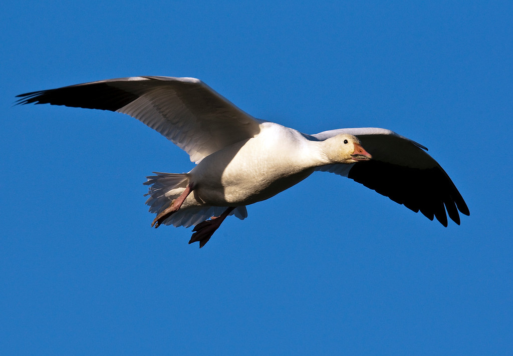 Snow Goose landing at Terra Nova