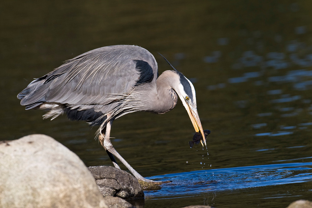 Great Blue Heron - Lost Lagoon, Vancouver BC