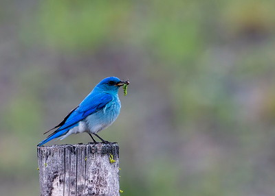 Mountain_Bluebird (Male)-P9177-4