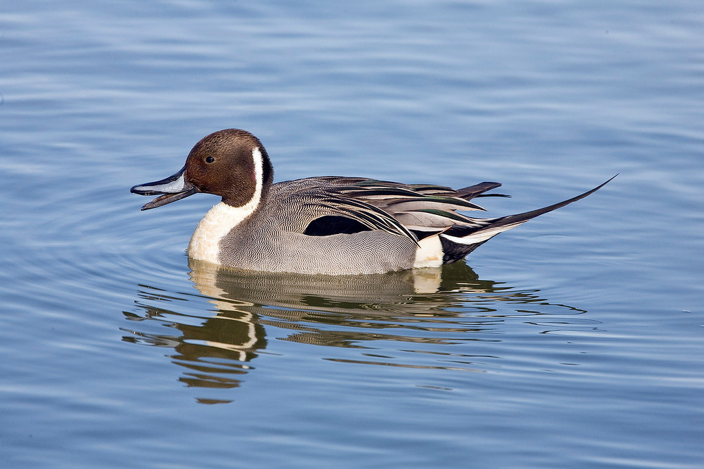 Pintail Duck - Reifel Bird Sanctuary, Ladner, BC