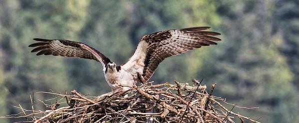 Osprey_Juvenile-Header-005F9212-10