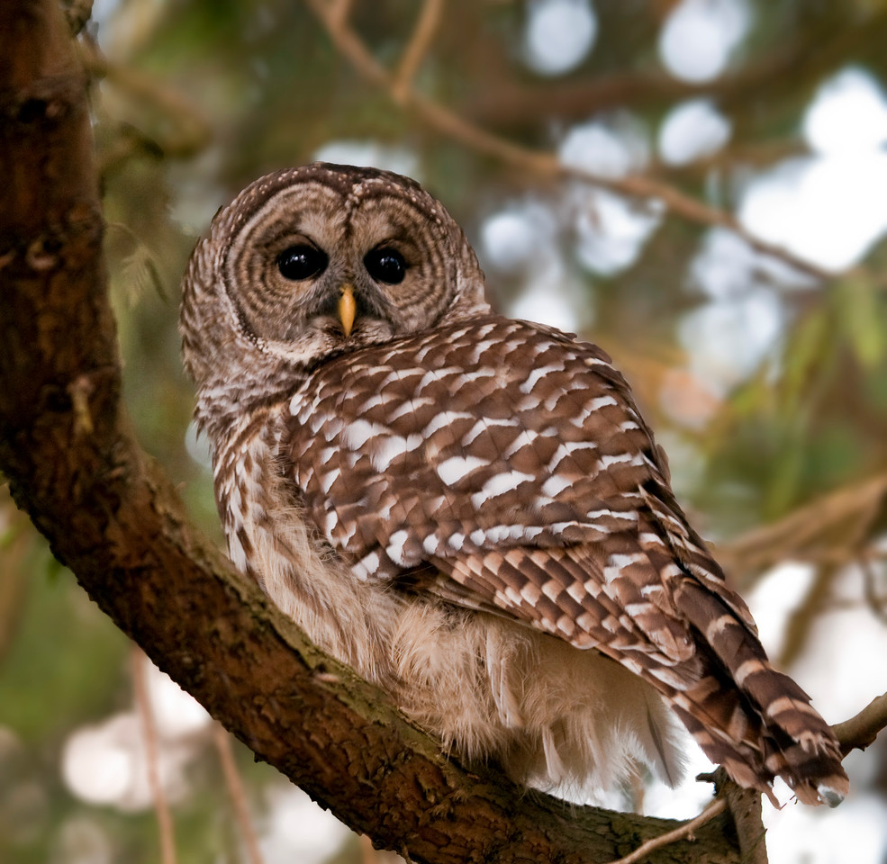 Barred Owl, Vancouver BC