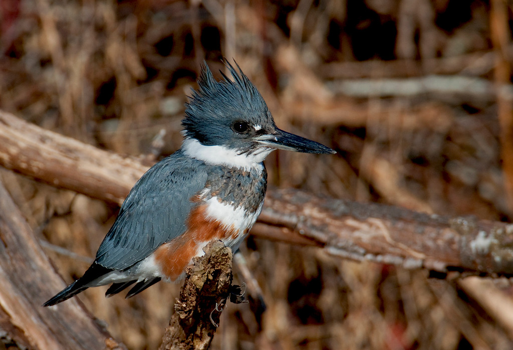 Belted Kingfisher-F9614-1600