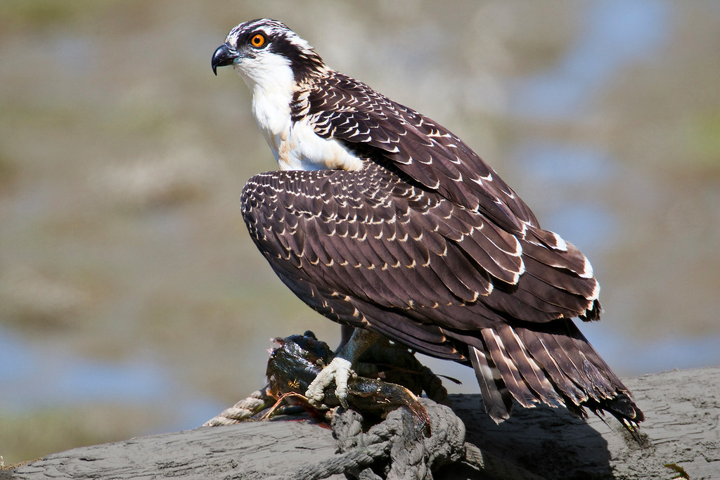 Juvenile Osprey with dinner, a nice Bullhead fish. Taken near Vancouver, BC
