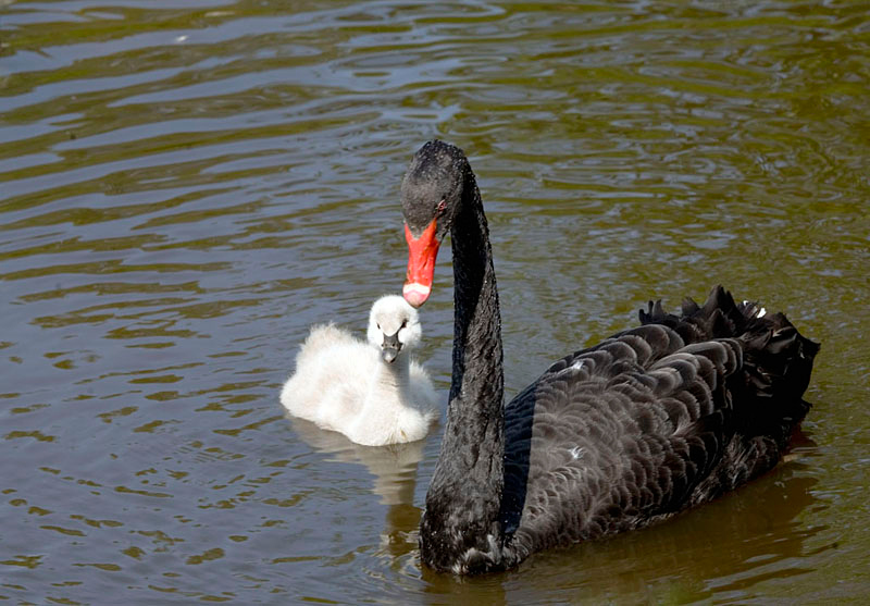 Black Swan and Chick