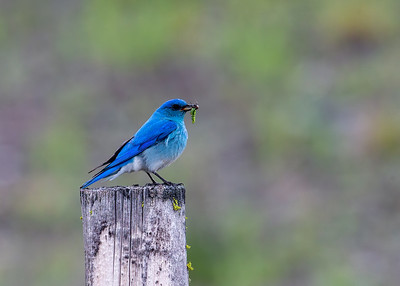 Mountain_Bluebird (Male)-P9177-2