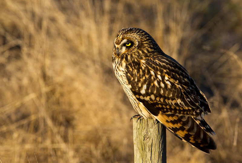 Short Eared Owl, Boundary Bay, BC