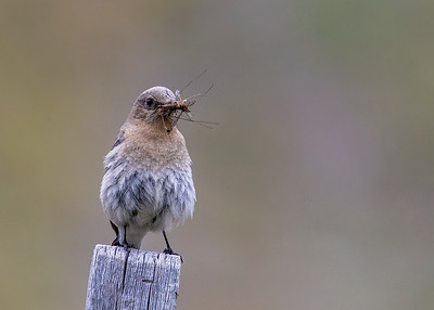 Mountain_Bluebird (Female)-P9480-16