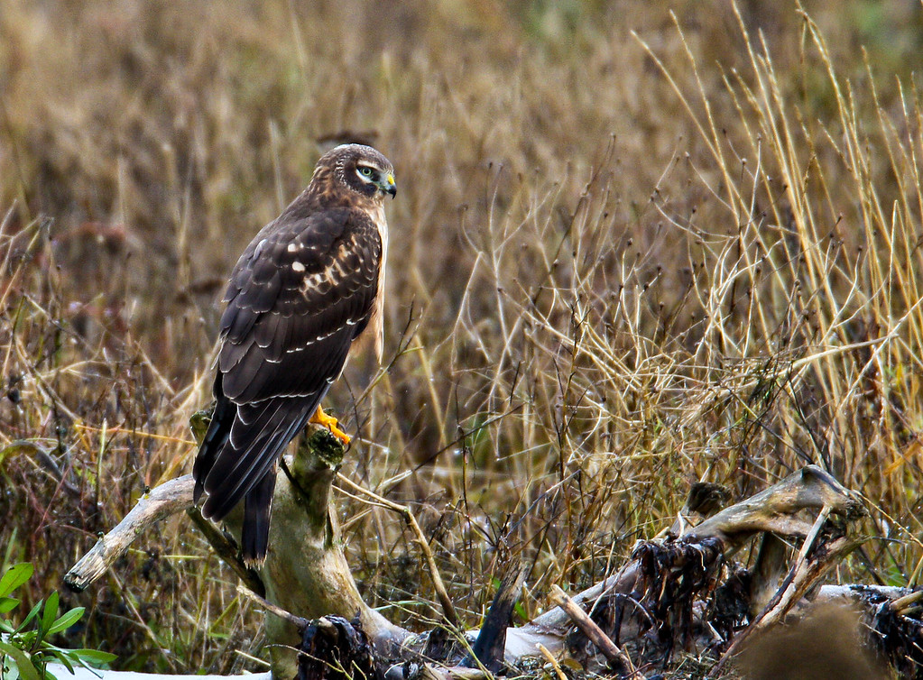 Northern Harrier (in North America) is a bird of prey. It breeds throughout the northern parts of the northern hemisphere in Canada and the northernmost USA, and in northern Eurasia. This species is polytypic, with two subspecies. Marsh Hawk is a historical name for the American form.[2]