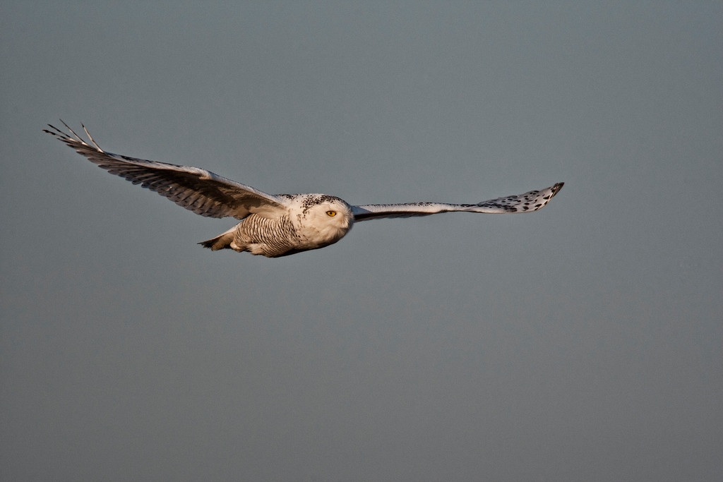 Snowy Owl in flight over the mnarshes at Boundary Bay. Needs some clouds doesn't it?