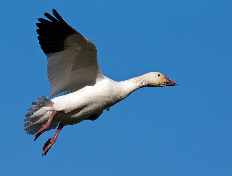 Snow Goose Coming down for a landing at Terra Nova