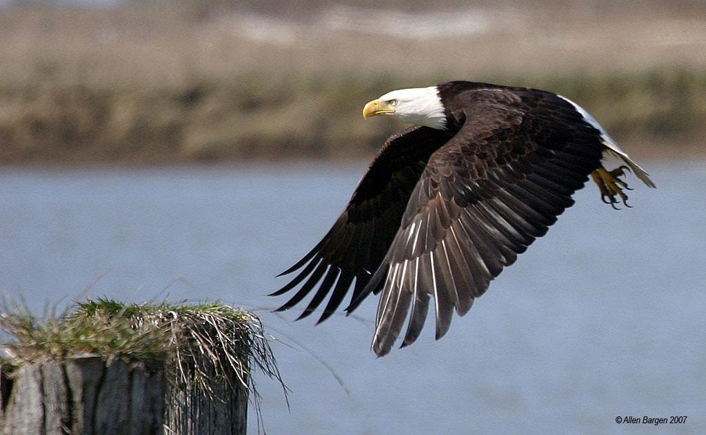 Bald Eagle - Ladner, British Columbia
