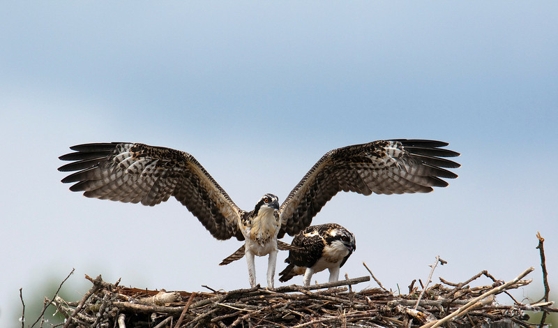 Osprey Chick testing its wings - about to leave the nest