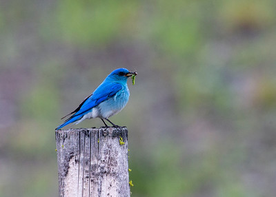Mountain_Bluebird (Male)-P9177-1