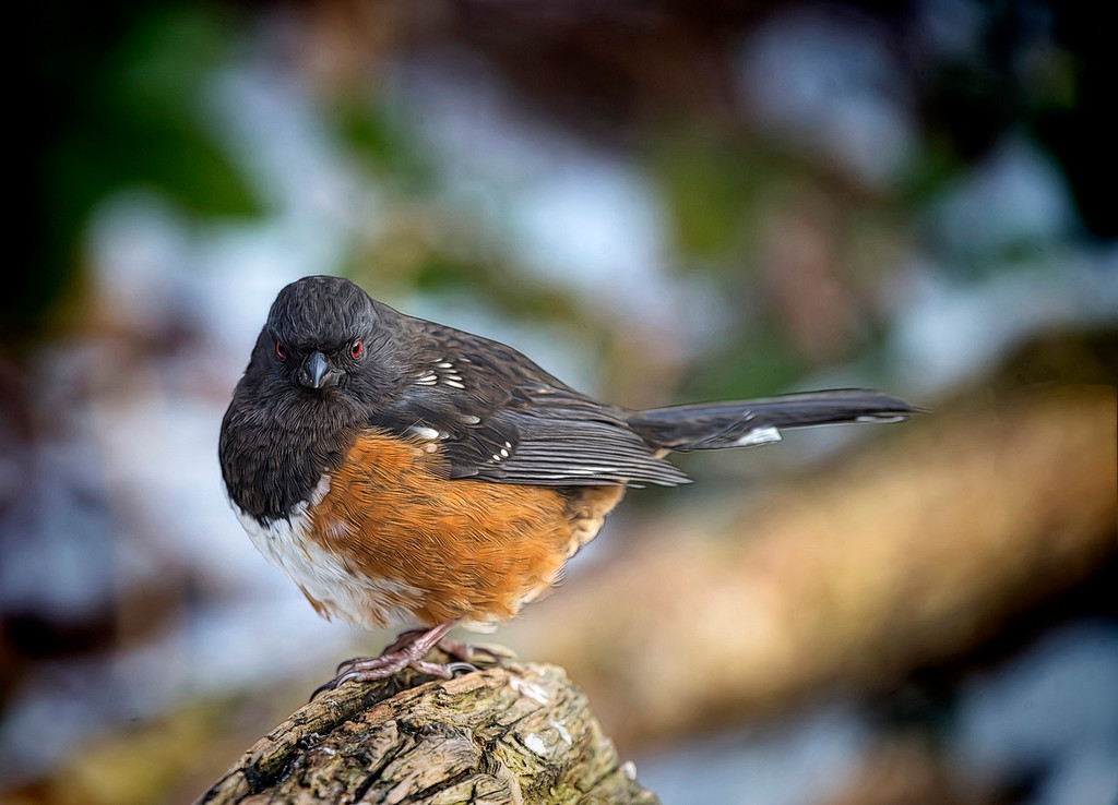 Rufus sided Towhee