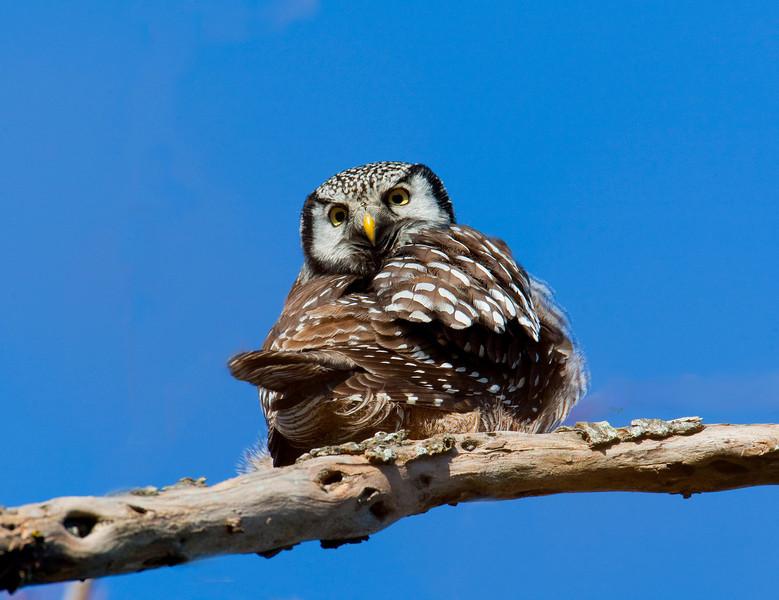 Northern Hawk Owl - Nanaimo BC, Canada