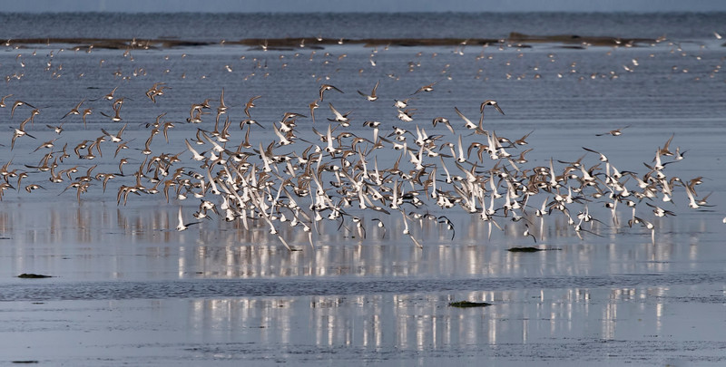 A group of Western Sandpipers are alarmed by a hunting Harrier Falcon, and take to the air to escape capture. Brunswick Point, Ladner, BC, Canada