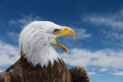 Bald Eagle calls it's mate