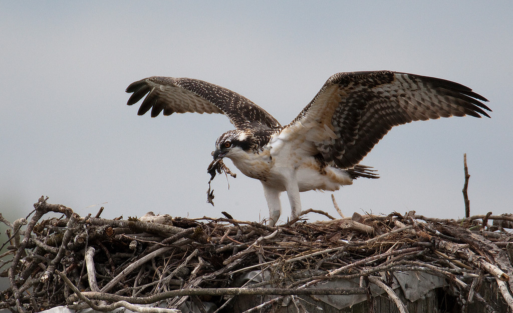 6 week old Osprey with the remains of it's last meal, a Bullhead. Amazingly this too went down the gullet quickly. Taken near Vancouver BC