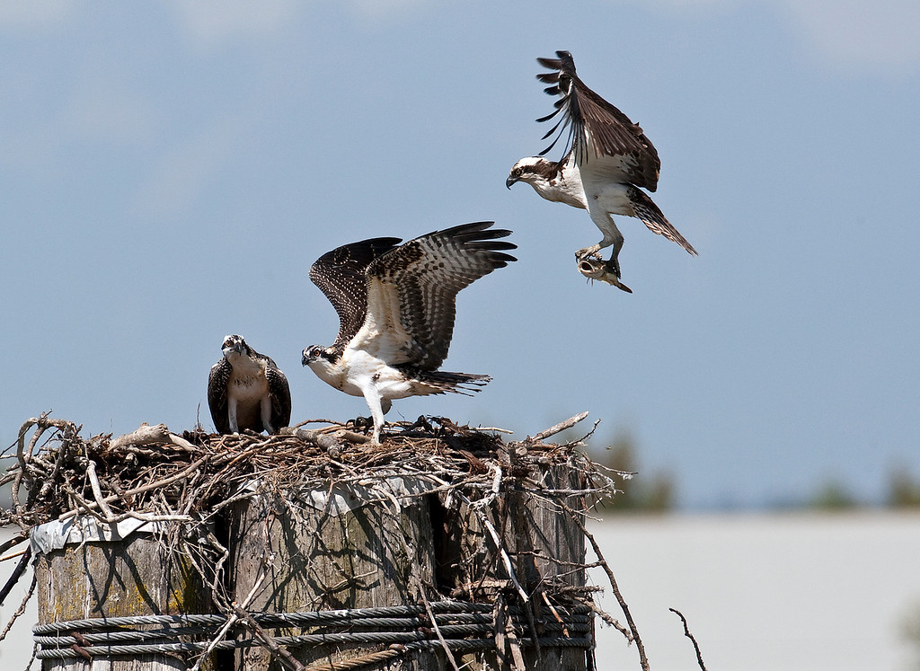 Adult Osprey inbound with the next meal for these two juvenies
