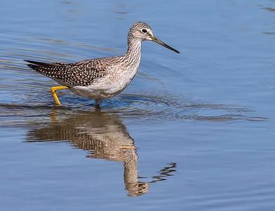 Greater Yellowlegs, Reifel Bird Sanctuary, Ladner, BC