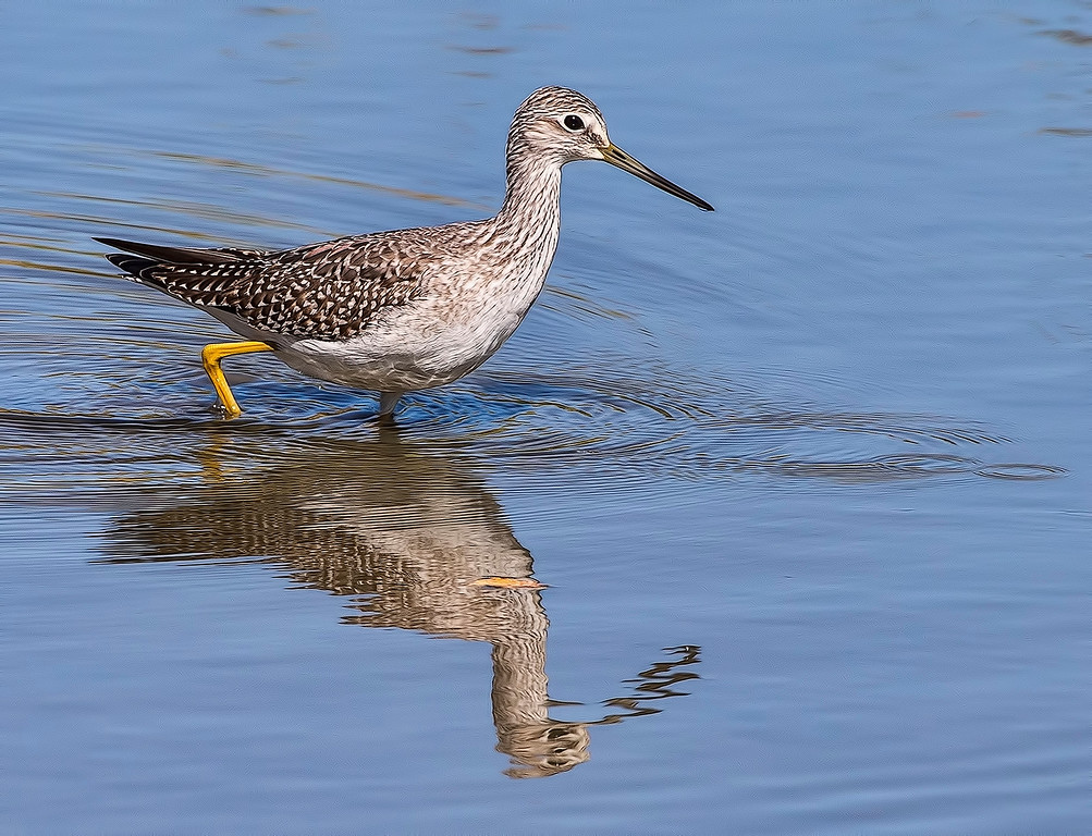 Greater Yellowlegs, Reifel Bird Sanctuary, Ladner, BC