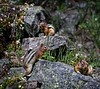 Chipmunks Sunning