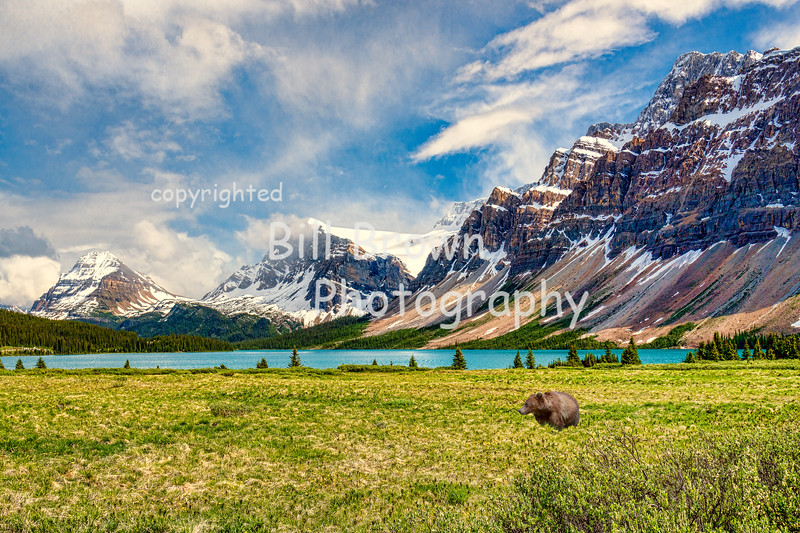 Grizzly Taking in the Scenery at Bow Lake, Banff National Park