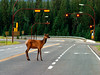 Elk on Main Street, Jasper Townsite