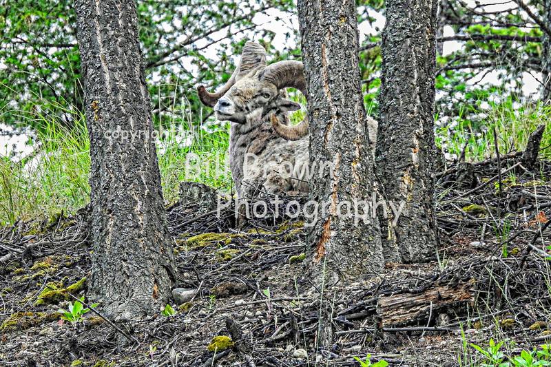 Well Camouflaged Bighorn