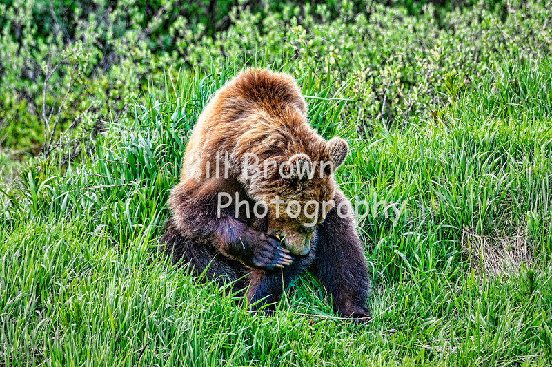 Grizzly Grooming after Lunch