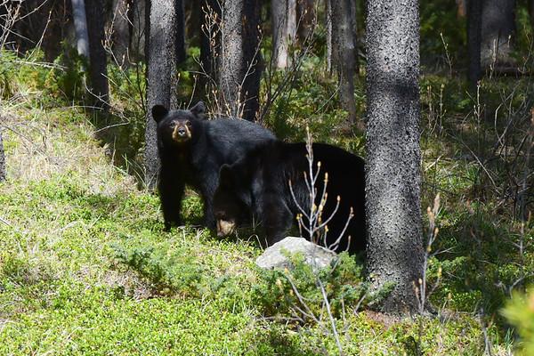 Bear Cub with Stripes