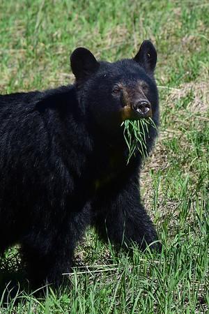 Black Bear Posing with grass